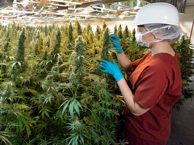 Grow Medical Marijuana
