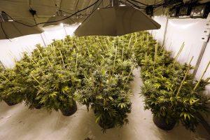 Recreational marijuana cultivation application