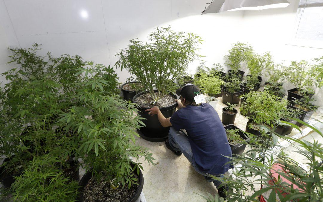 Recreational marijuana cultivation applications