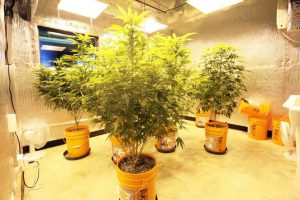 Growing marijuana for dispensaries