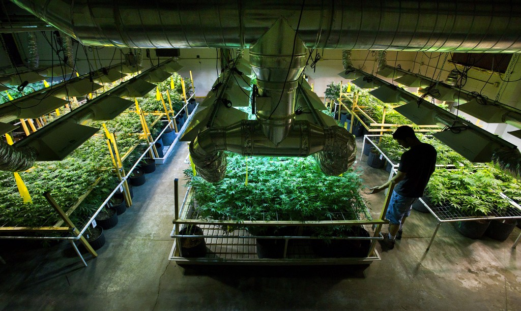 Growing marijuana for dispensaries