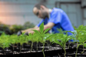 Growing medical marijuana in Illinois