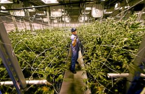 Workshops for marijuana